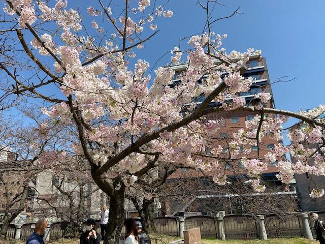 桜の下で婚活デート